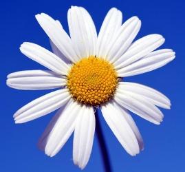 she blossoms improve libido